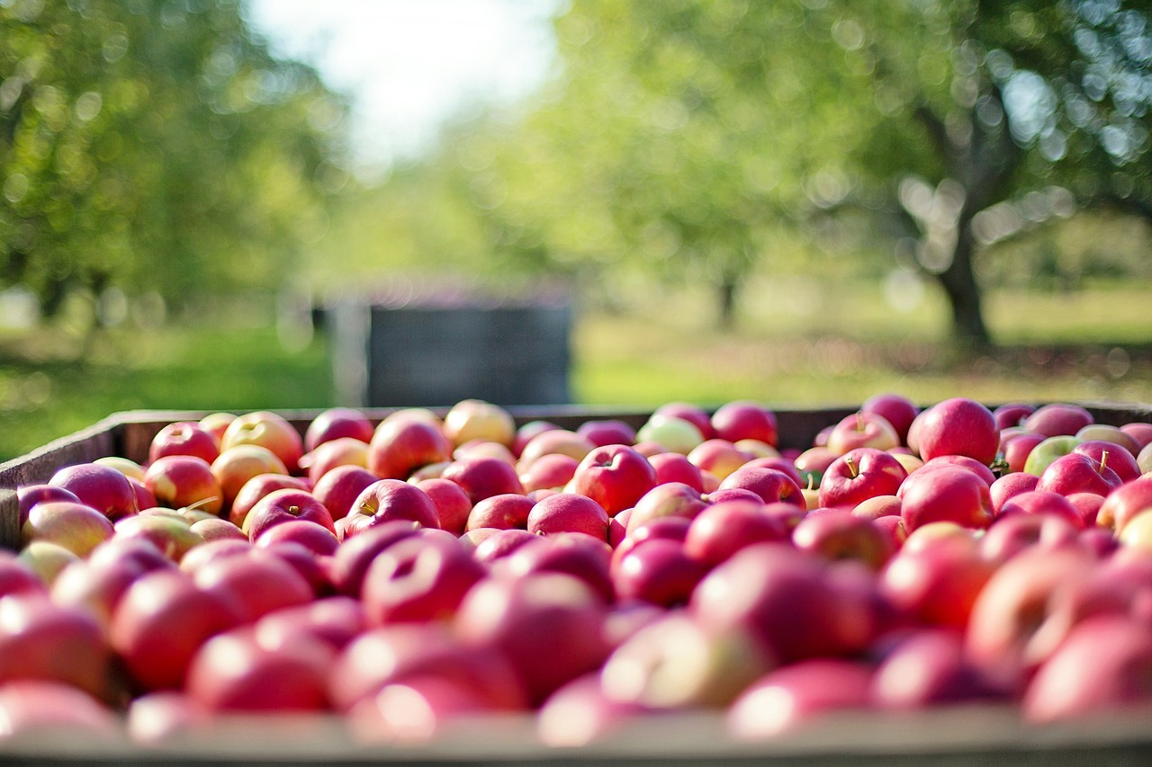 apple picking at a triangle orchard
